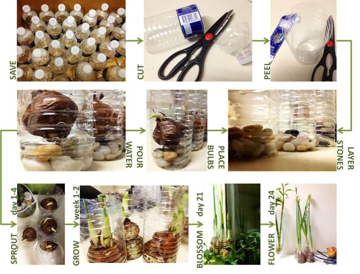 Pictoral guide for urban daffodil gardening using single use plastic water bottles.