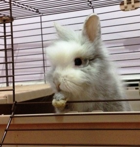 Foster bunny Theo (adopted May 2013)